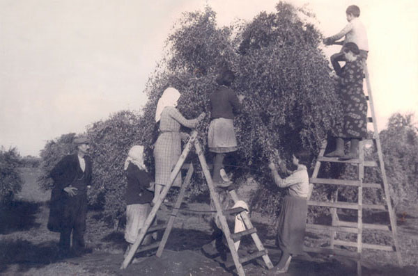 Olive Oil Harvesting -The Olive Table - An Olive Oil Harvesting Tradition